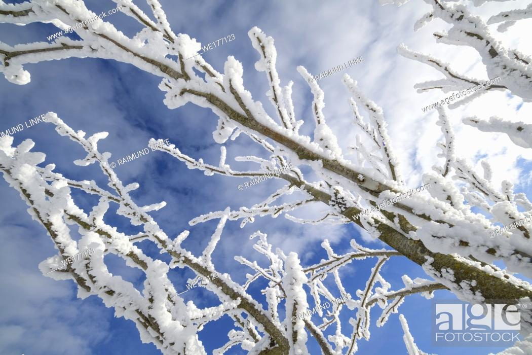 Photo de stock: Snow covered branch in winter, Mount Fichtelberg, Oberwiesenthal, Erzgebirge, Ore Mountains, Saxony, Germany, Europe.