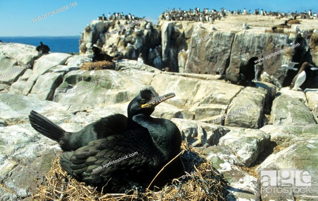 Stock Photo: European Shag Phalacrocorax aristotelis adult on nest, Farne Islands, Northumberland, England.