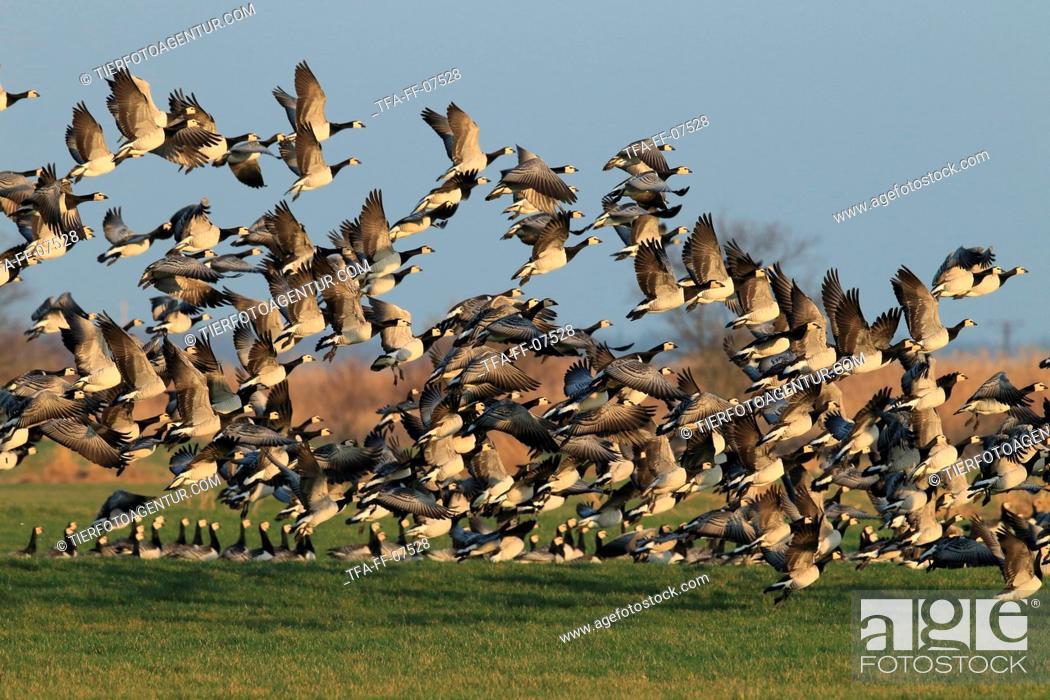 Stock Photo: barnacle geese.