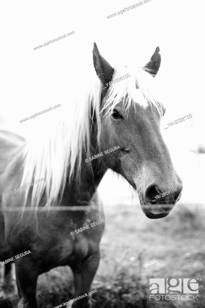 Stock Photo: Beautiful horse. Parentis-en-Born. Aquitaine. Landes. France. Europe.