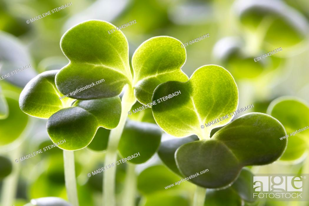 Stock Photo: Closeup of five days old broccoli sprouts.