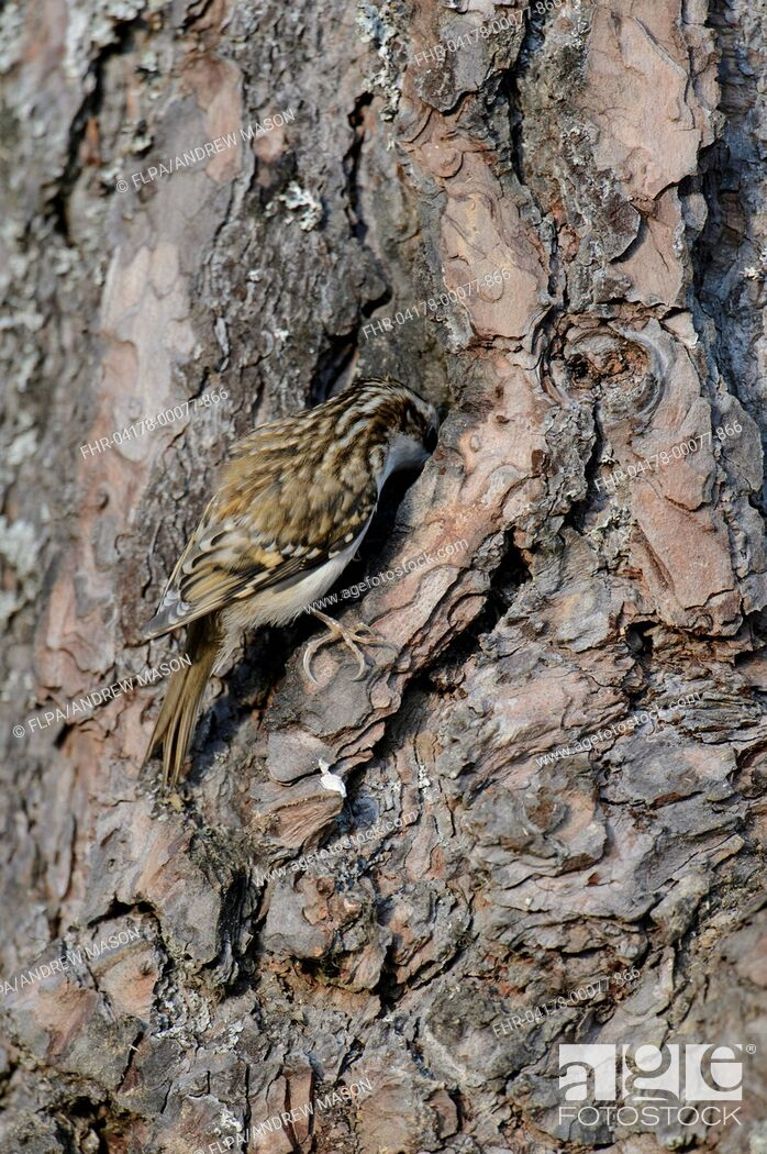 Imagen: Common Treecreeper (Certhia familiaris) adult, feeding, clinging to Scots Pine (Pinus sylvestris) trunk, Abernethy Forest, Cairngorms N.P.