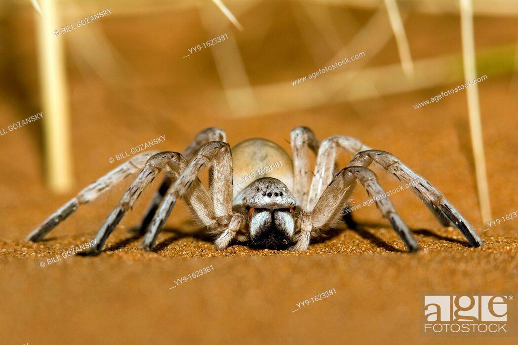 Stock Photo: Dancing White Lady Spider - Wolwedans - NamibRand Nature Reserve - Hardap Region, Namibia, Africa.
