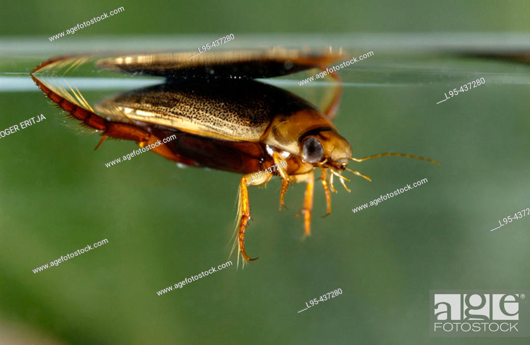 Stock Photo: Great diving beetle (Dytiscus spp) from underwater.