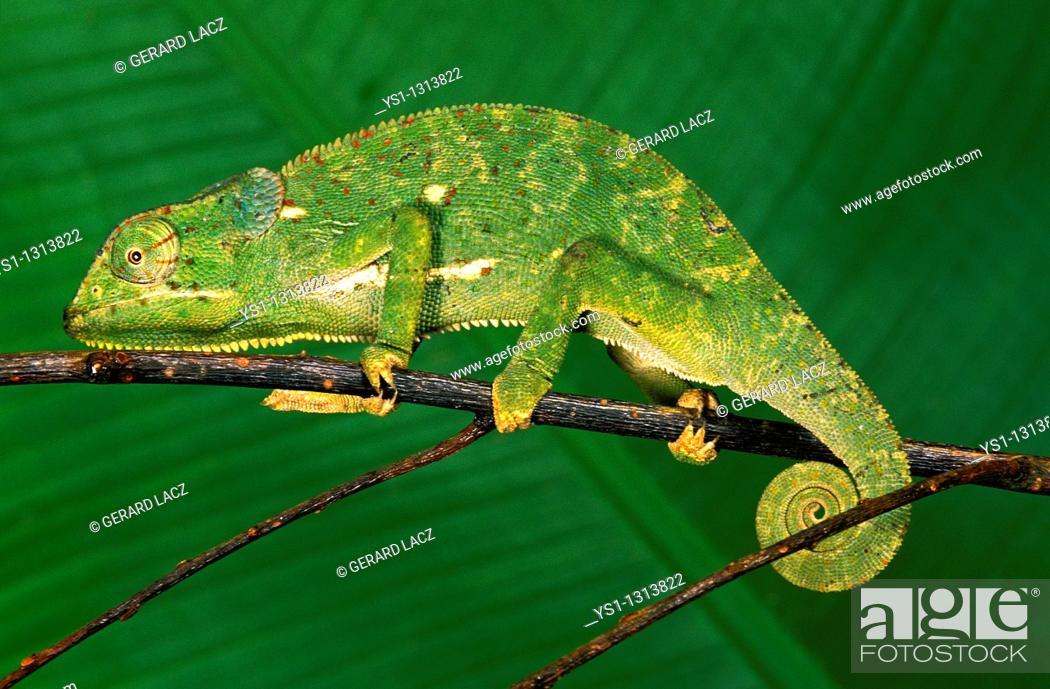 Stock Photo: Flap-necked Chameleon (Chamaeleo dilepis), adult on branch, Madagascar.