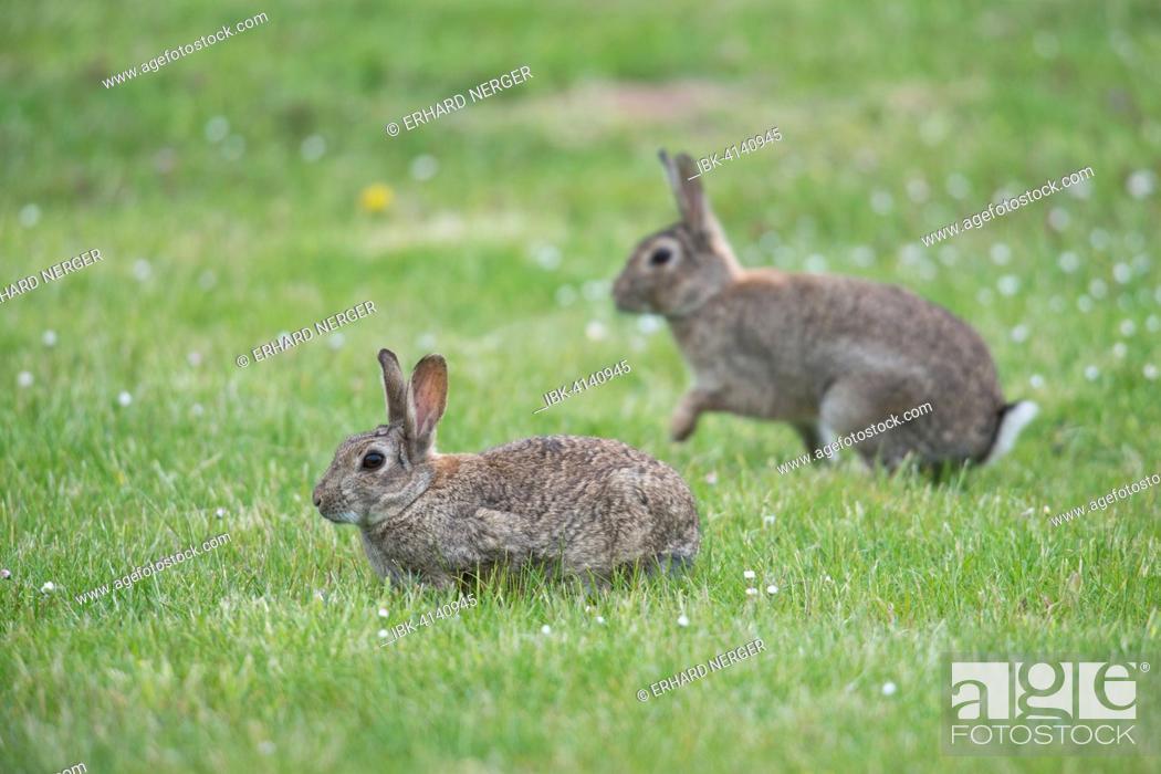 Stock Photo: European Rabbits (Oryctolagus cuniculus), Emsland, Lower Saxony, Germany.
