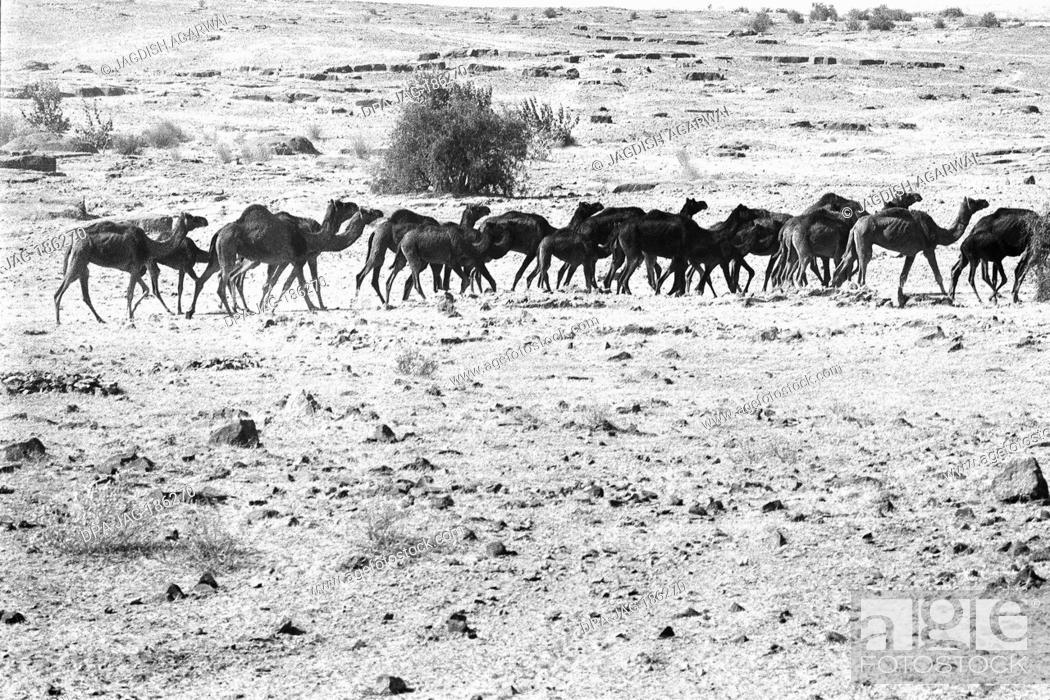 Imagen: Camel herd at Sam Khuri village Jaisalmer Rajasthan India Asia 1984.
