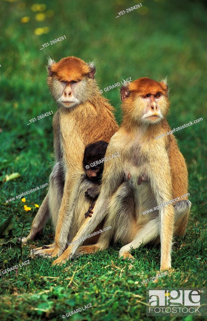 Stock Photo: Patas Monkey, erythrocebus patas, Mother and Young, Africa.