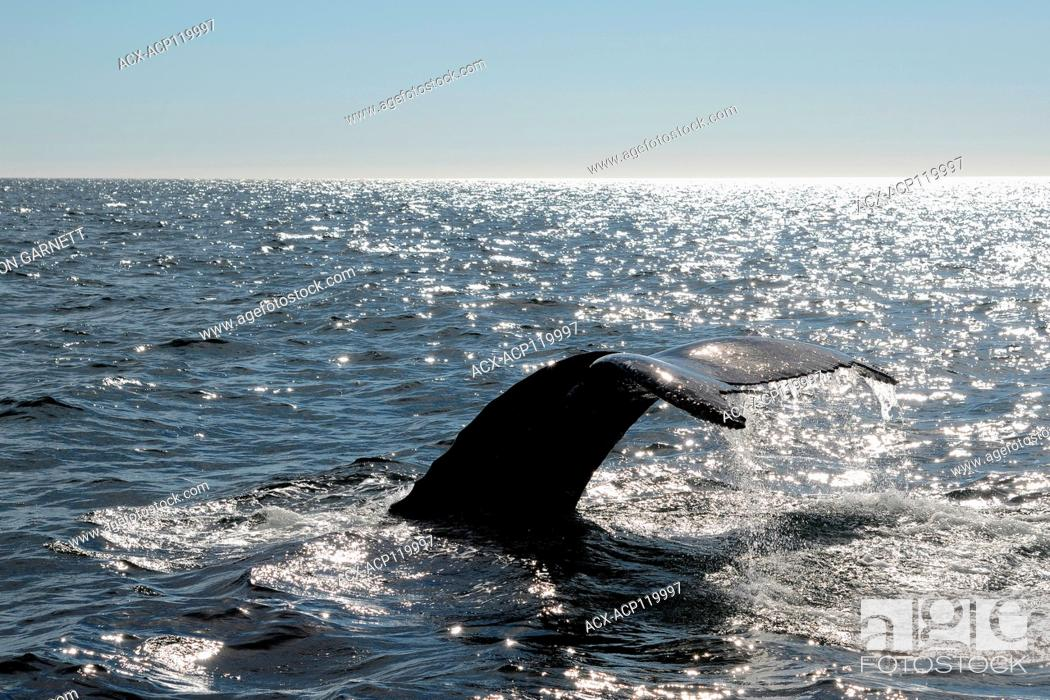 Stock Photo: Humpback whale tail, diving, St Anthony, Newfoundland.