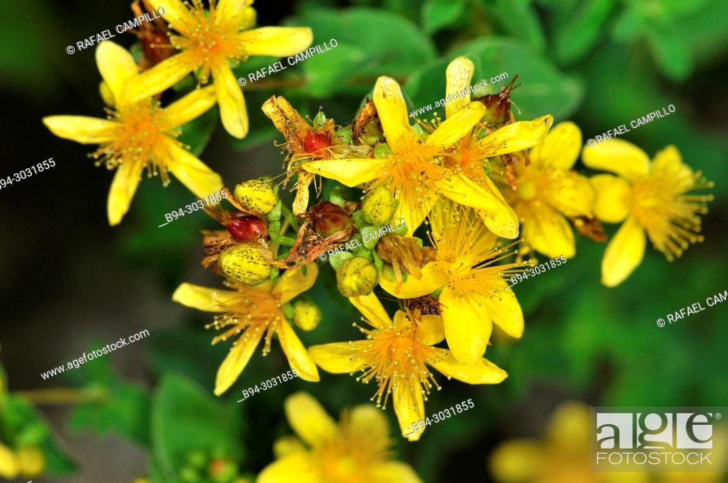 Stock Photo: St. John's-wort flower (Hypericum sp., fam. Hypericaceae), Sorteny valley Natural Park. Andorra. Europe.