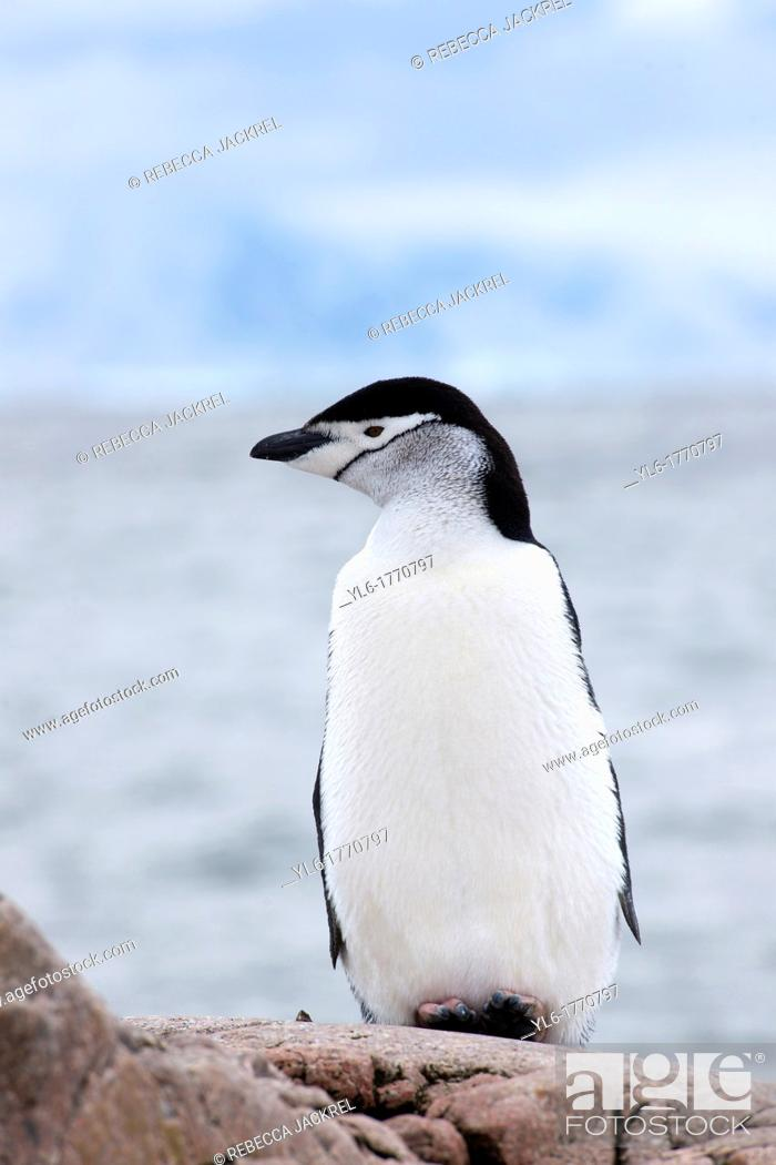 Stock Photo: A chinstrap penguin Pygoscelis antarcticus rests on a rock overlooking the ocean at Aitcho Islands, Barrientos, Antarctic Peninsula.
