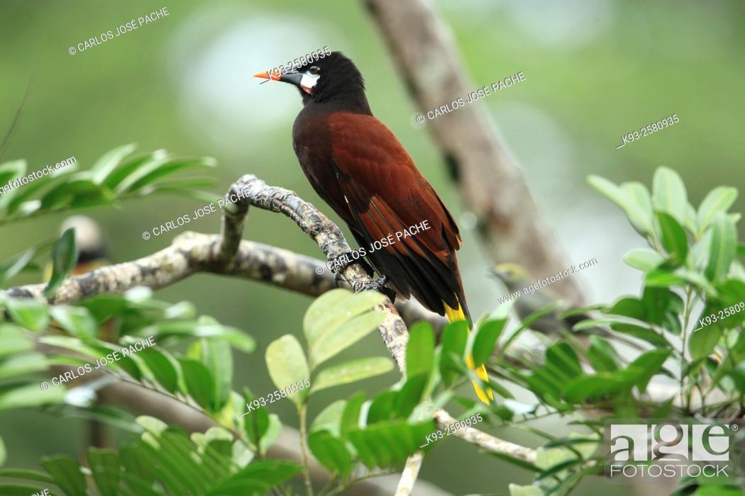 Stock Photo: Montezuma oropendola (Psarocolius montezuma). Boca Tapada, Costa Rica.