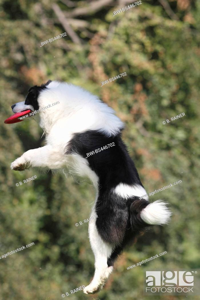 Stock Photo: Australian Shepherd (Canis lupus f. familiaris), six years old male dog cutting a caper with a frisbee disk, side view, Germany.