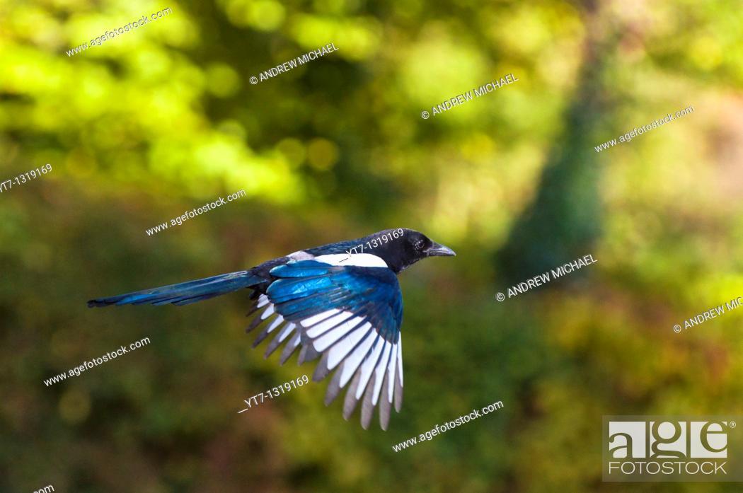 Stock Photo: European magpie in flight, UK.