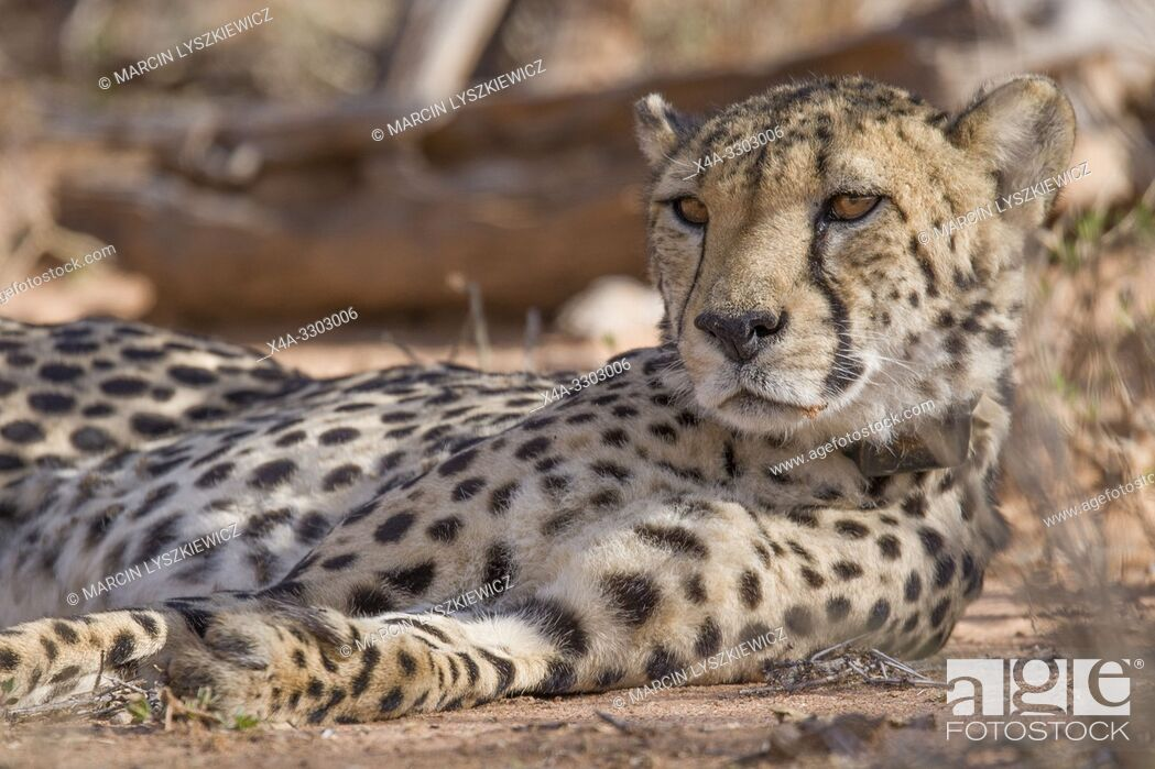 Stock Photo: Portrait of male Chetaah, Okonjima Nature Reserve, Namibia.
