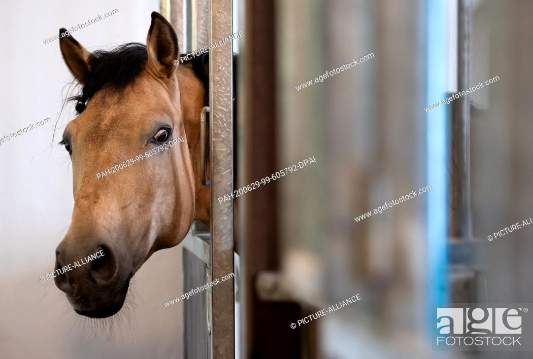 Stock Photo: 29 June 2020, Bavaria, Weßling: A circus horse is looking out of its box during a press conference on the premises of Circus Krone Farm.