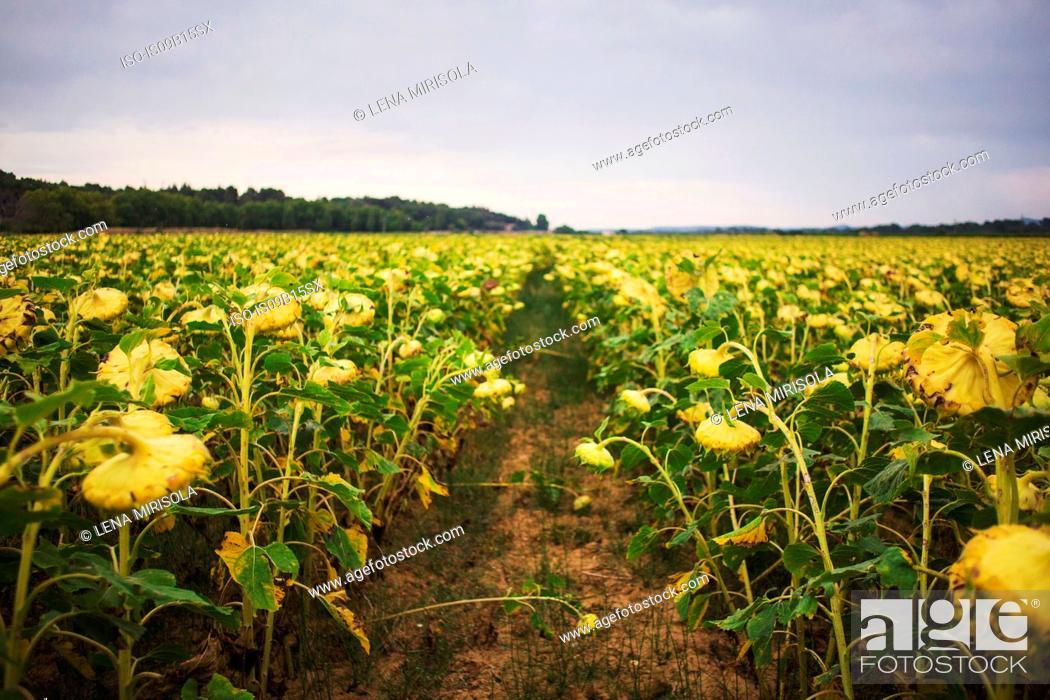 Stock Photo: Sunflowers in field, Olonzac, France.