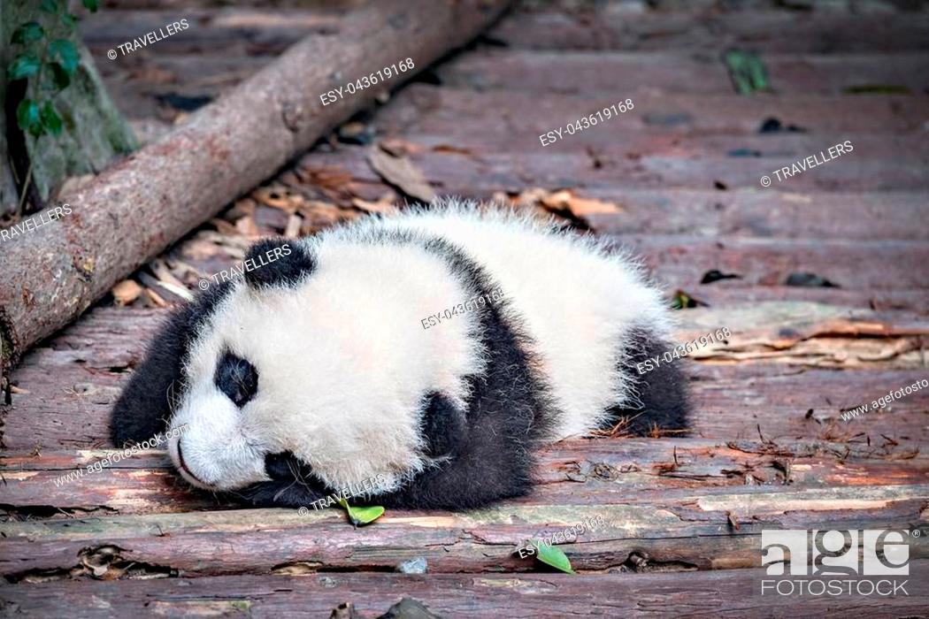 Stock Photo: Baby of Giant Panda sleeps in the park.