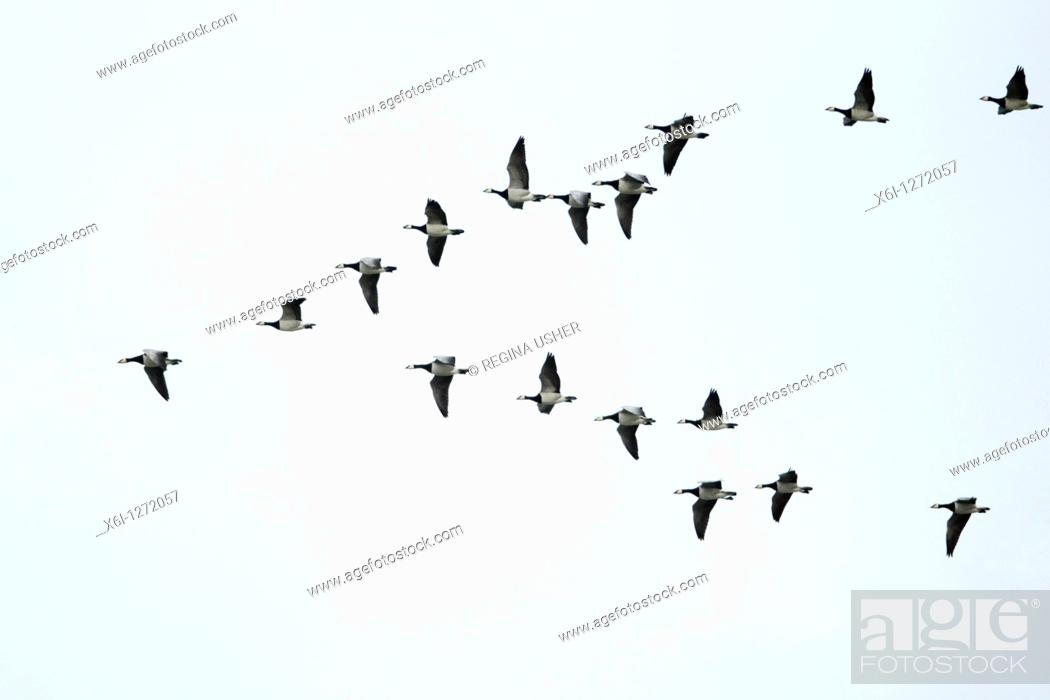 Stock Photo: Barnacle Geese Branta leucopsis, in flight formation, autumn, Northumberland, England.
