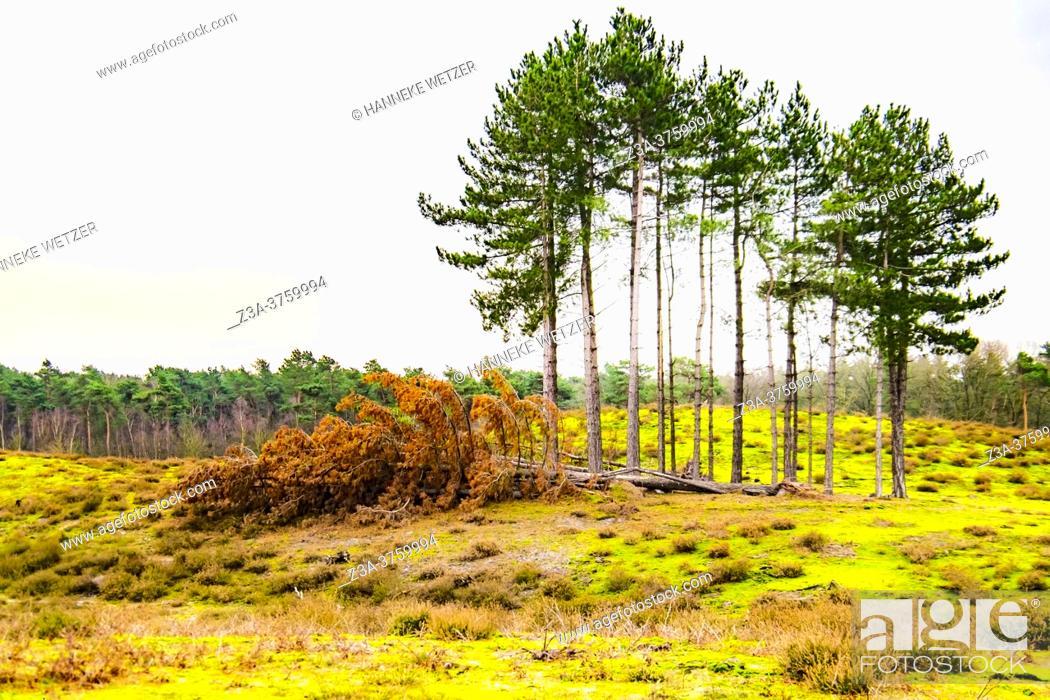 Stock Photo: Winter woods, The Netherlands, Europe.