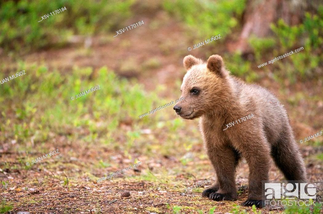 Stock Photo: Cubs, Ursus arctos arctos, European brown bear, Martinselkonen Nature Park, region of Kainuu, Finland, Scandinavia, Europe.