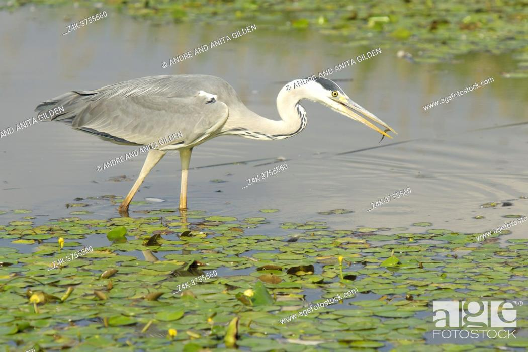 Stock Photo: Grey Heron (Ardea herodias) with caught fish in water, Hortobagy national park, Hungary.