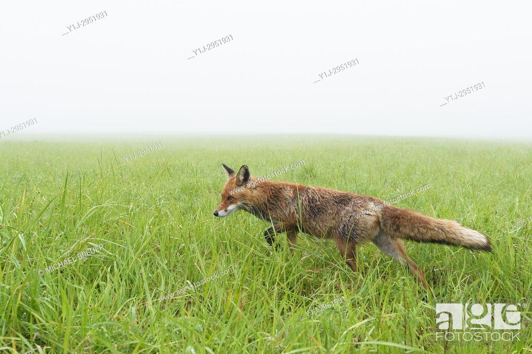 Stock Photo: Red Fox (Vulpes vulpes) on misty morning, Springtime, Hesse, Germany, Europe.