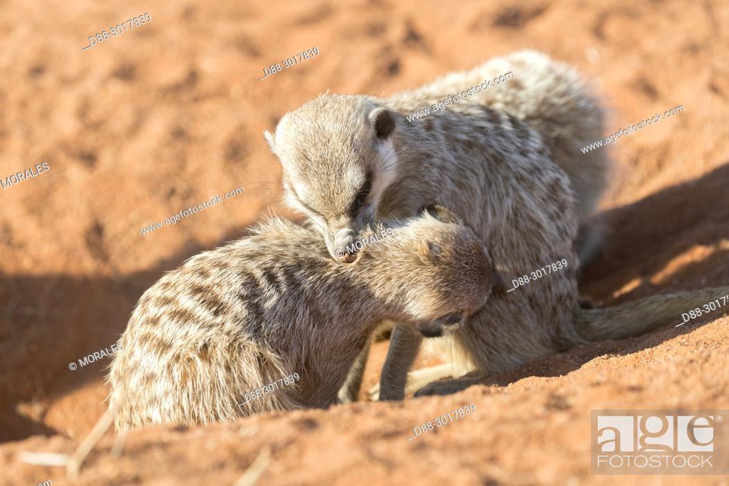 Stock Photo: Africa, Southern Africa, South African Republic, Kalahari Desert, Meerkat or suricate (Suricata suricatta), adults, Grooming.