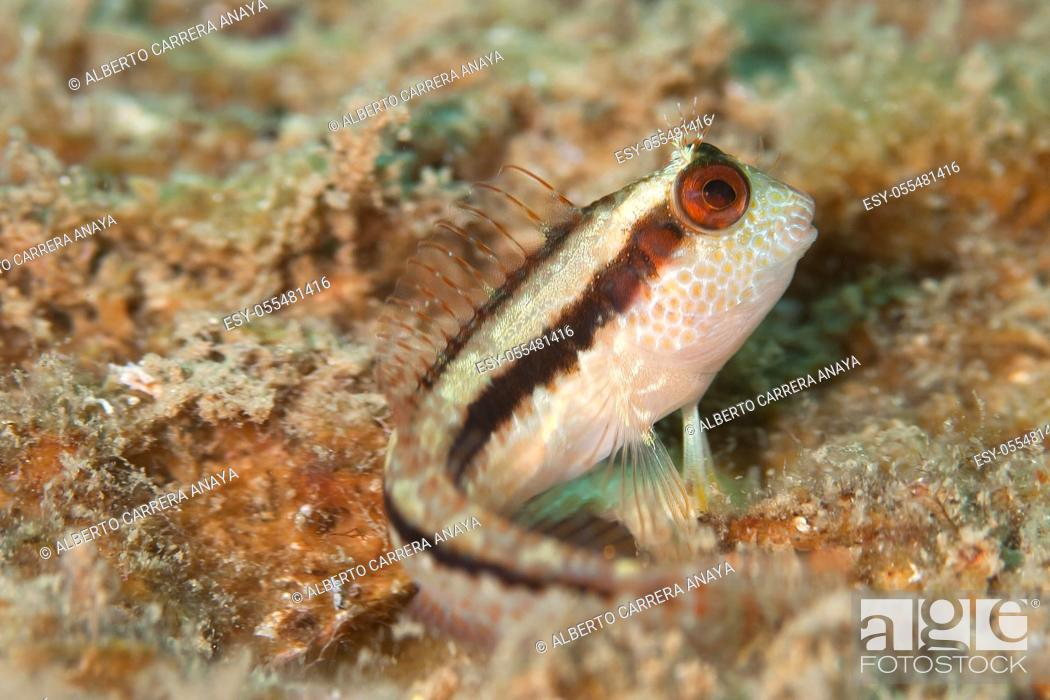 Stock Photo: Blenny, Parablennius rouxi, Cabo Cope Puntas del Canegre Natural Park, Mediterranean Sea, Murcia, Spain, Europe.