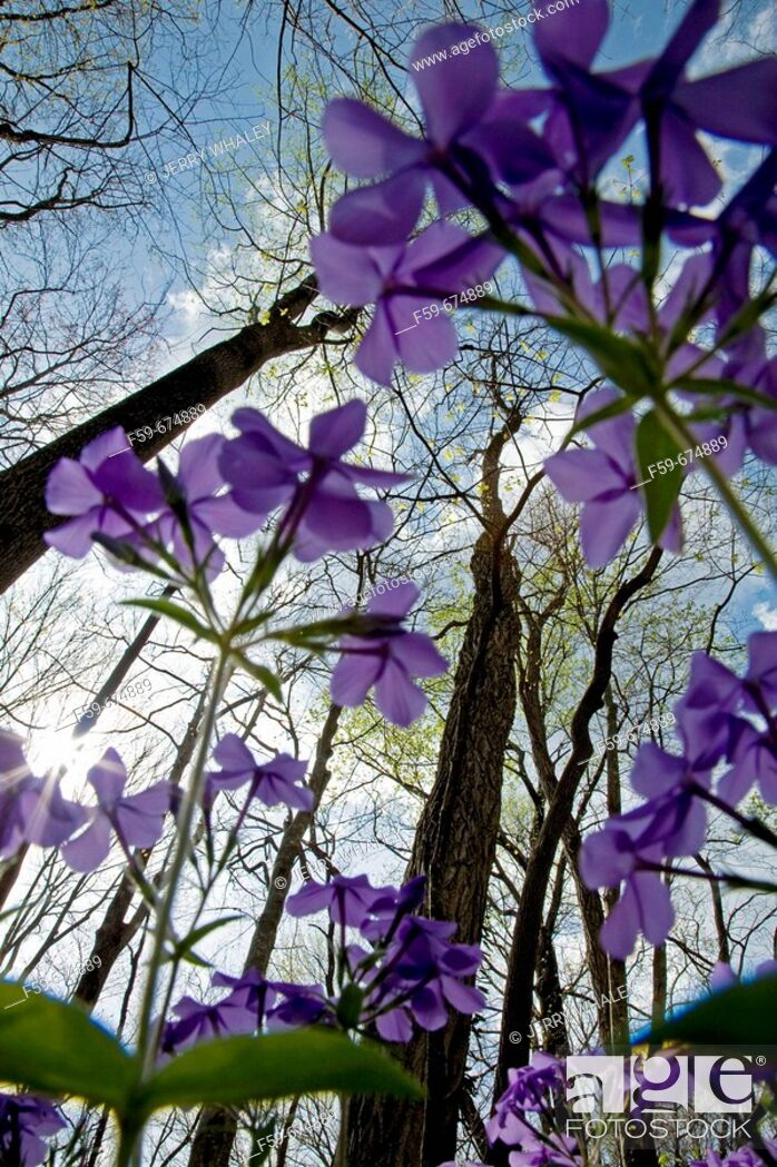 Imagen: Phlox, Spring Wildflowers, Trees Budding, Great Smoky Mtns Nat  Park, TN, USA.