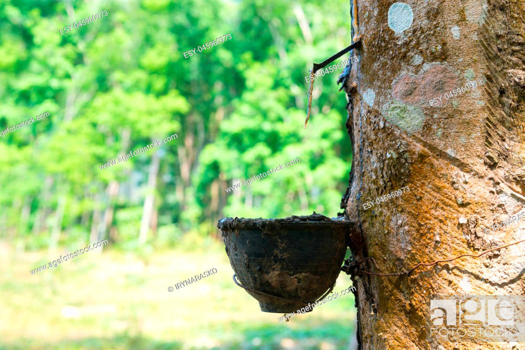 Stock Photo: Natural rubber collecting from gashed rubber tree to harvesting bowl with green sunny forest on background.
