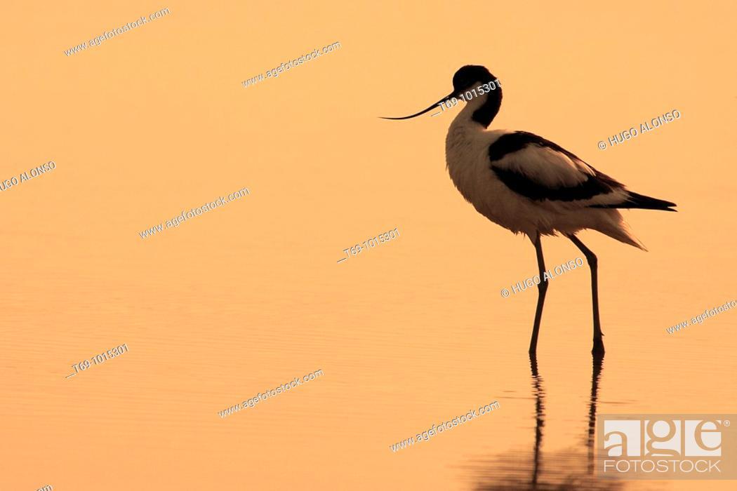 Stock Photo: Pied Avocet (Recurvirostra avosetta). Ebro delta. Tarragona. Spain.