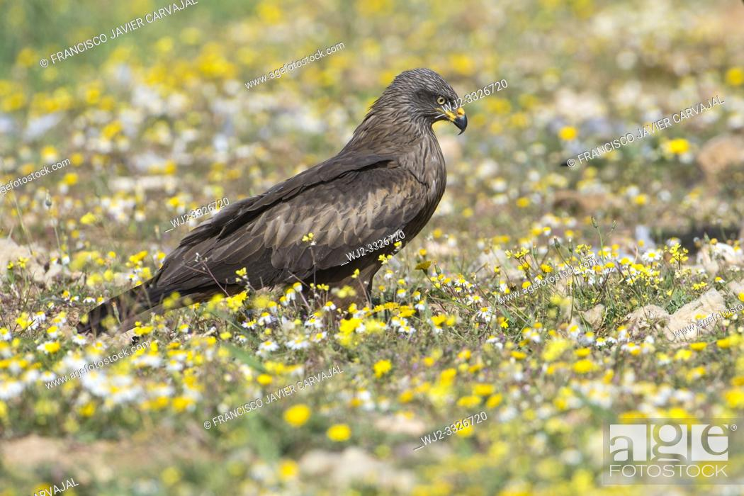 Stock Photo: Black kite (Milvus migrans) perched on the ground, in the Dehesa, Extremadura, Spain.