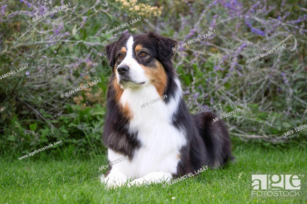 Imagen: Australian Shepherd Dog outdoors.