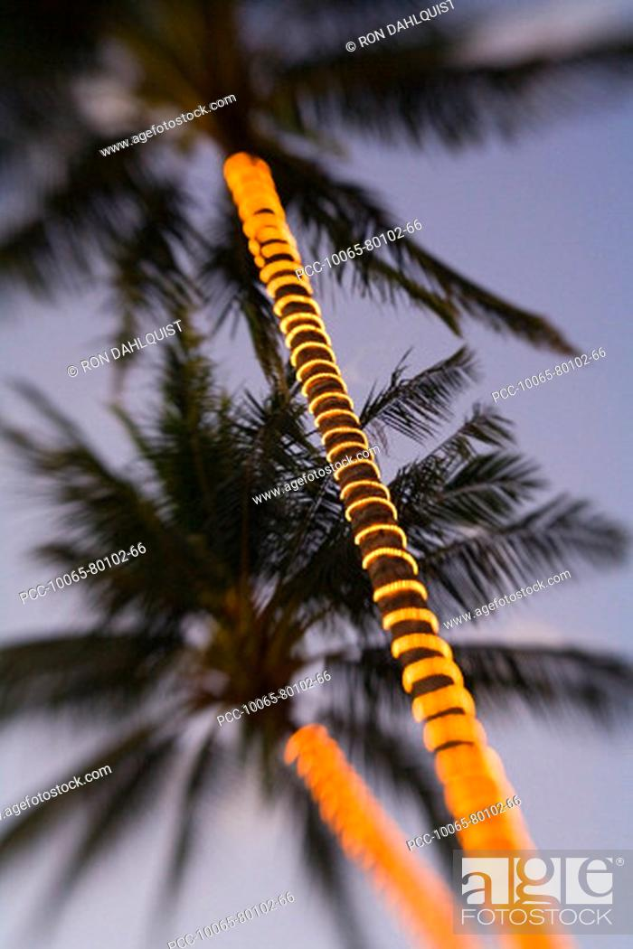 Stock Photo: Electric lights wrapped around palm tree trunks in the fading light of dusk.
