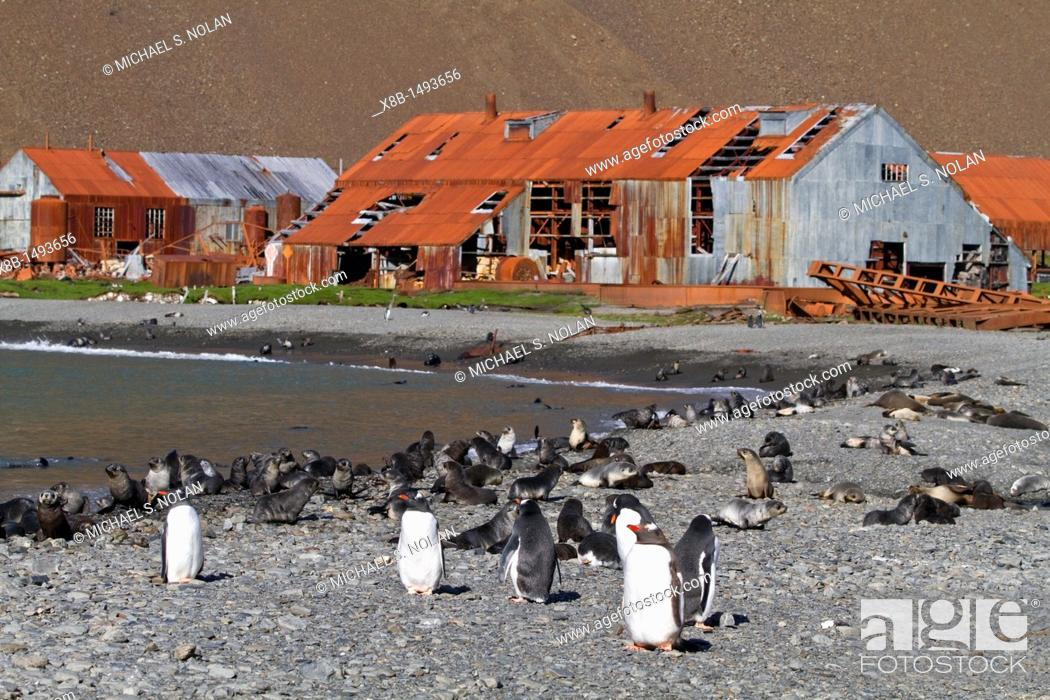 Stock Photo: Gentoo penguin Pygoscelis papua on the beach with king penguins and Antarctic fur seal pups at the abandoned whaling station of Stromness, South Georgia.