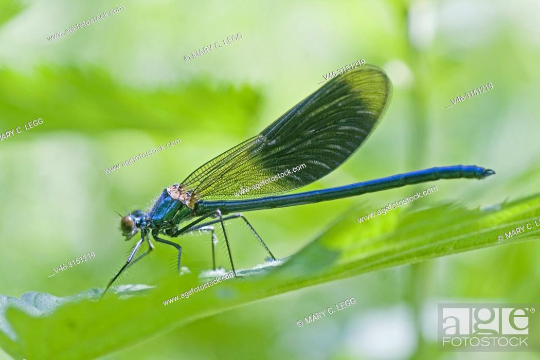 Stock Photo: Male Banded Demoiselle, Calopteryx splendens.