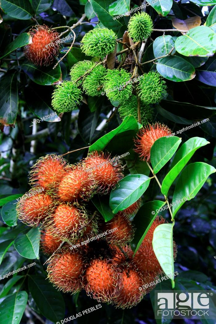 Stock Photo: Rambutan, Hilo, Island of Hawaii, USA.
