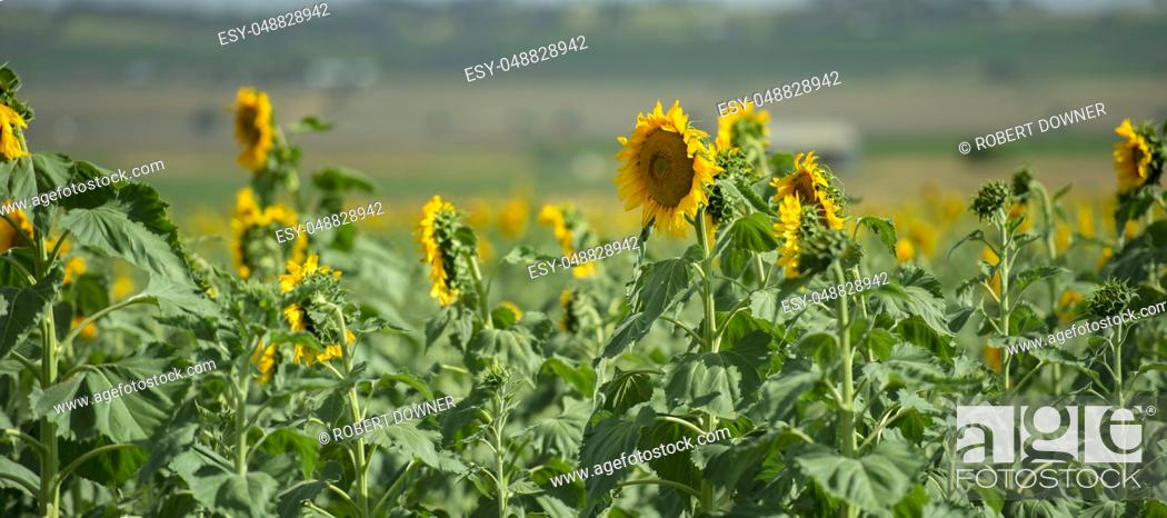 Stock Photo: Sunflowers amongst a field in the afternoon in Nobby, Toowoomba Region, Queensland.