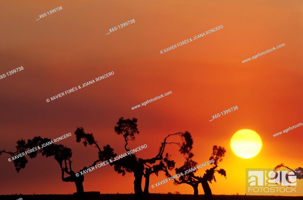 Stock Photo: Holm oak trees at dusk, San Esteban, Salamanca, Spain.