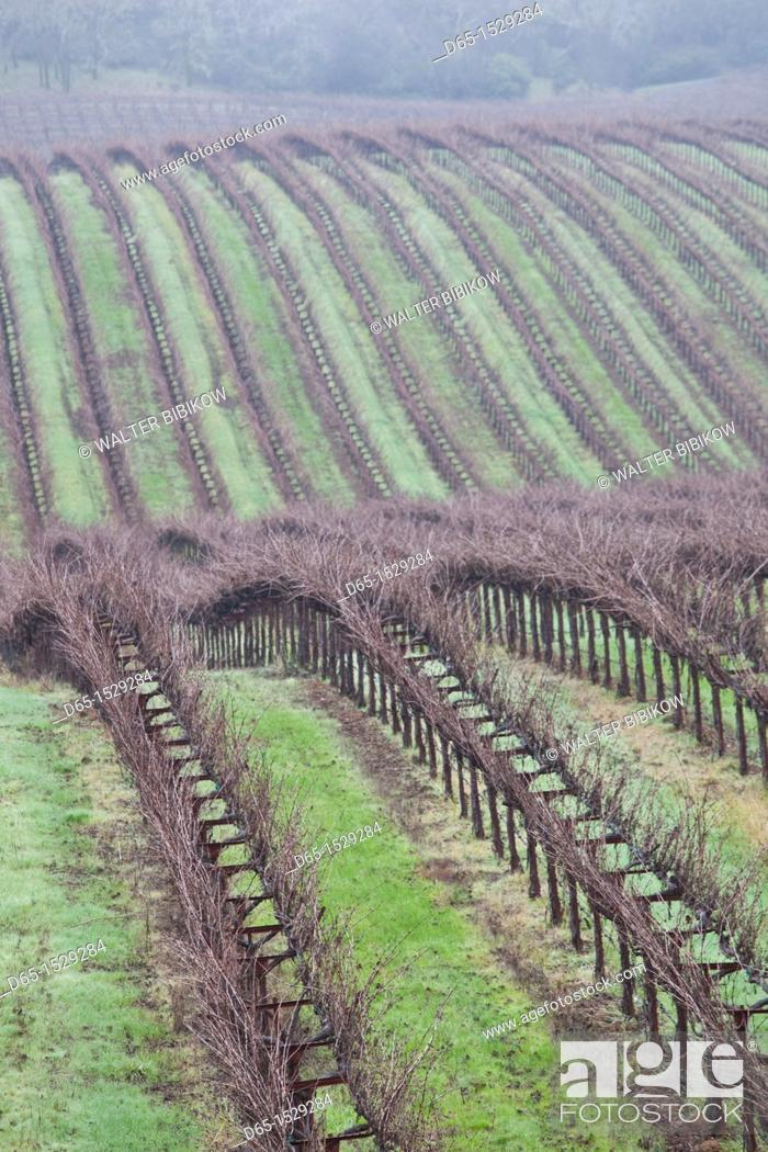 Stock Photo: USA, California, Northern California, Russian River Wine Country, Asti, vineyard in winter.