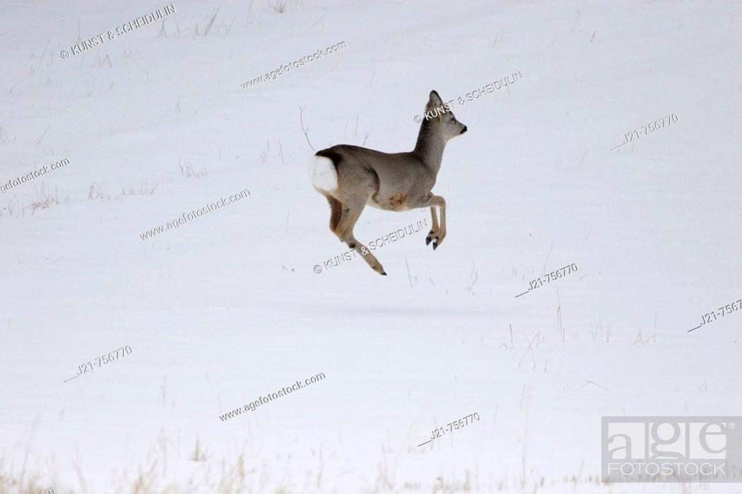 Stock Photo: Young roe-buck Capreolus capreolus on a snow-covered meadow in late winter Västernorrland, Sweden.