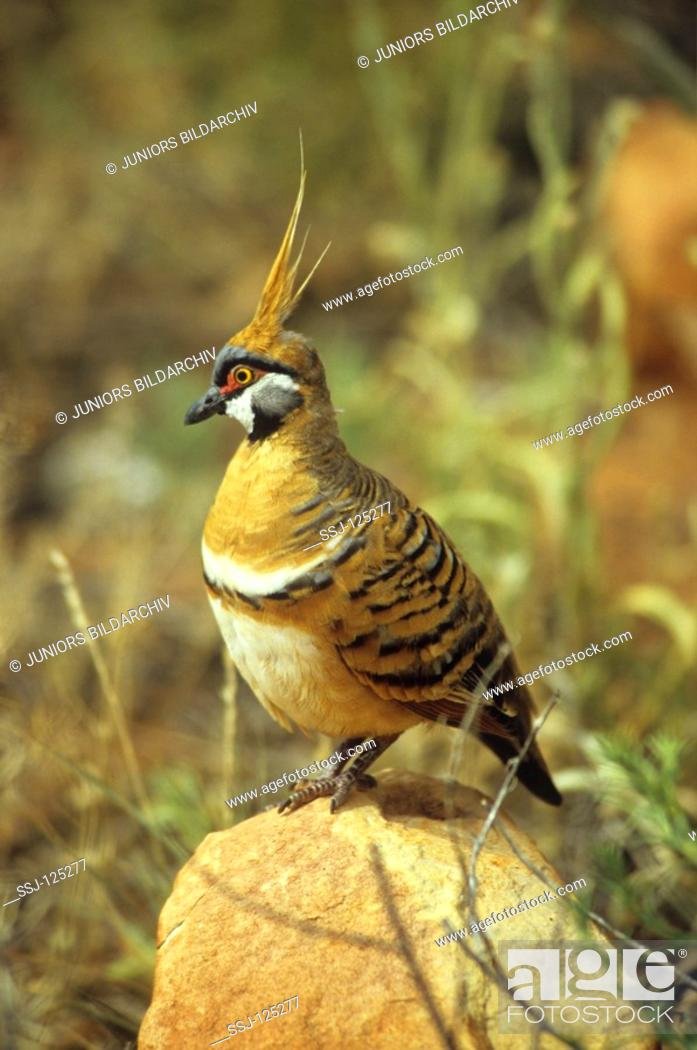 Stock Photo: spinifex pigeon - Geophas plumifera.