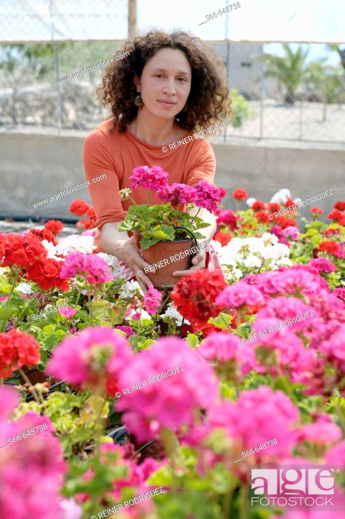 Stock Photo: Geranium flowers, plant production company in San Juan, Mallorca. Balearic Islands. Spain.