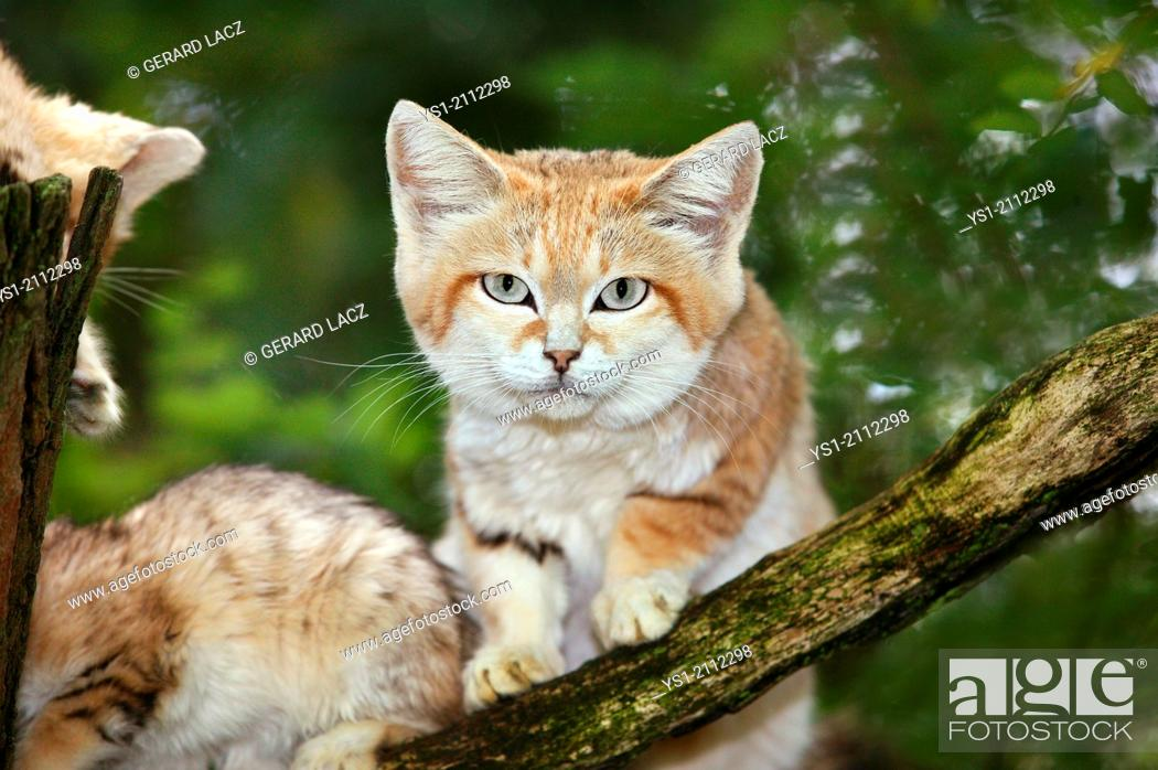 Stock Photo: Sand Cat, felis margarita, Female with Young standing on Branch.