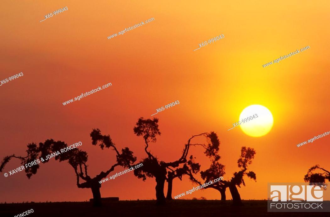 Stock Photo: Holm oaks at dusk, San Esteban, Salamanca, Spain / Encinas al atardecer, San Esteban, Salamanca, Spain.