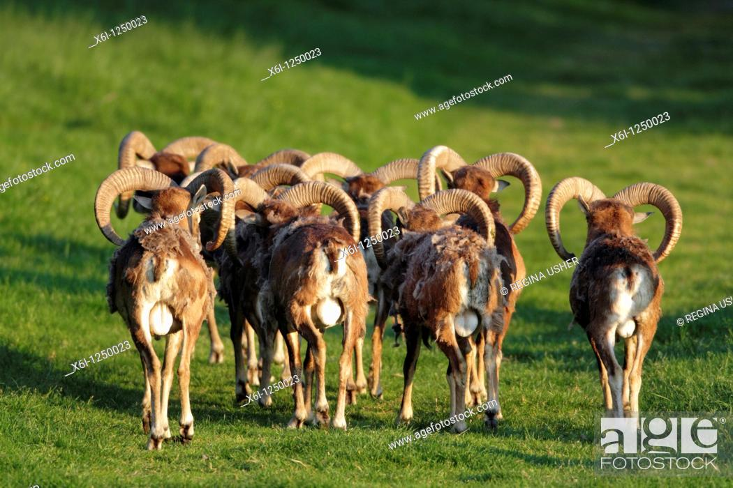 Stock Photo: European Mouflon Ovis musimon, herd of rams, from behind, Germany.