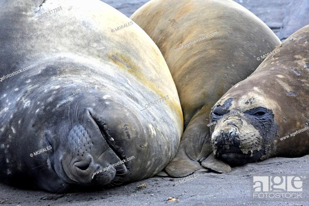 Stock Photo: Southern Elephant Seal (Mirounga leonina). Hannah Point, Livingston Island, South Shetland Islands, Antarctica.