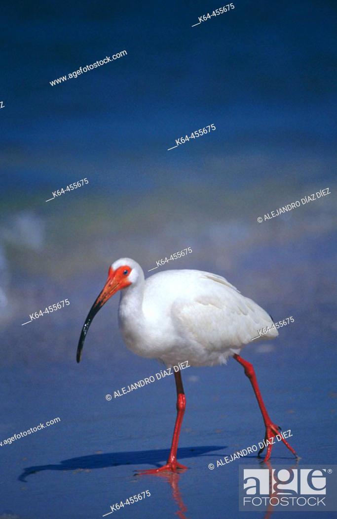 Stock Photo: White Ibis (Eudocimus albus) fishing on beach. Florida, USA.