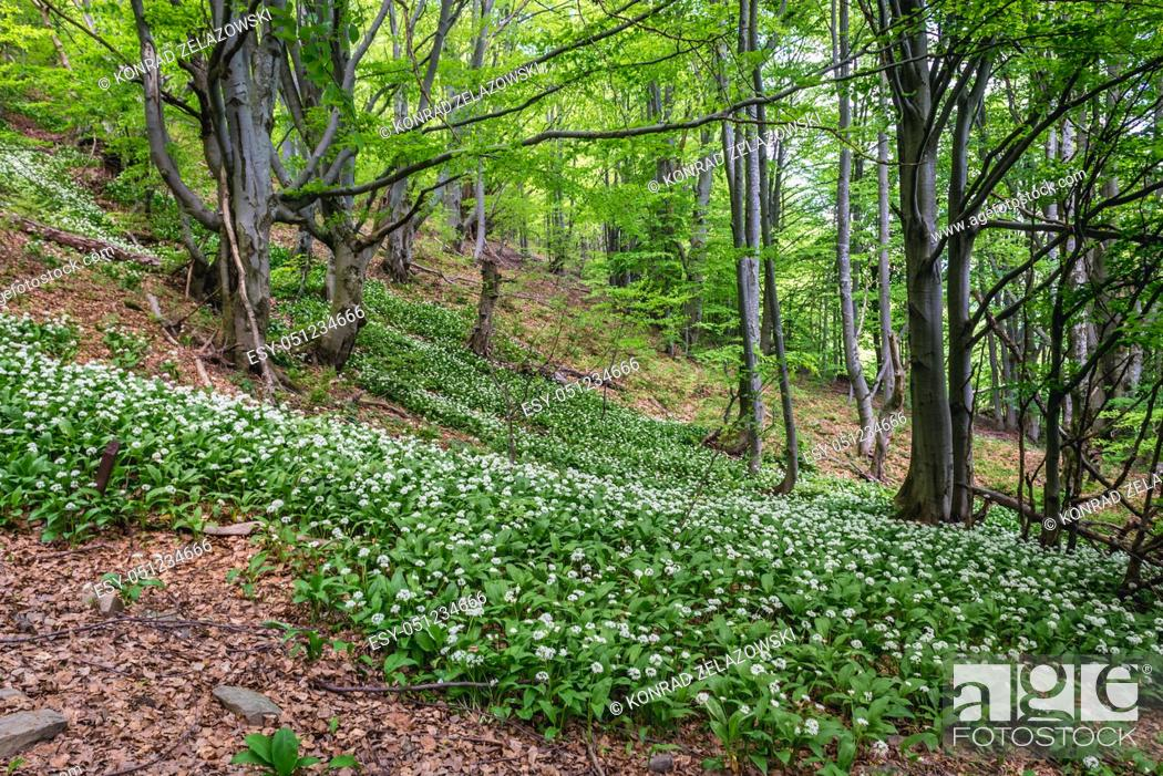 Stock Photo: Wood Garlic in a beech forest on a slopes of Wetlina High Mountain Pasture in Western Bieszczady Mountains in Poland.